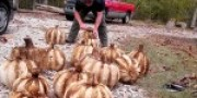 Pumpkins for the Garlic Festival